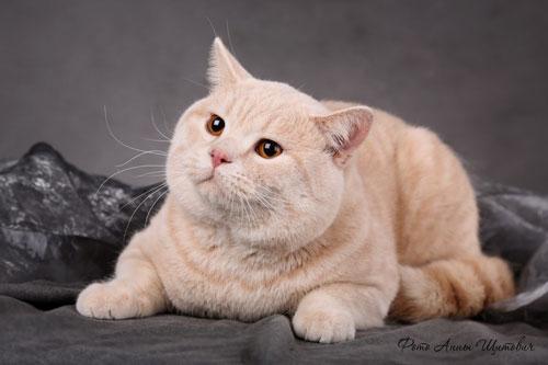 кот британский фото персиковый